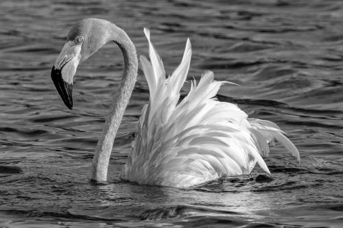Chogogo flamingo Bonaire