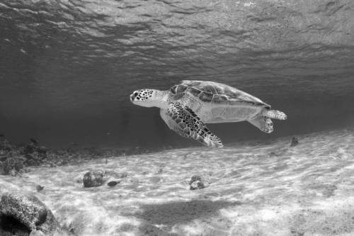 Sea Turtle at Salt Pier